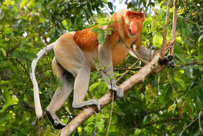 The Proboscis Monkey