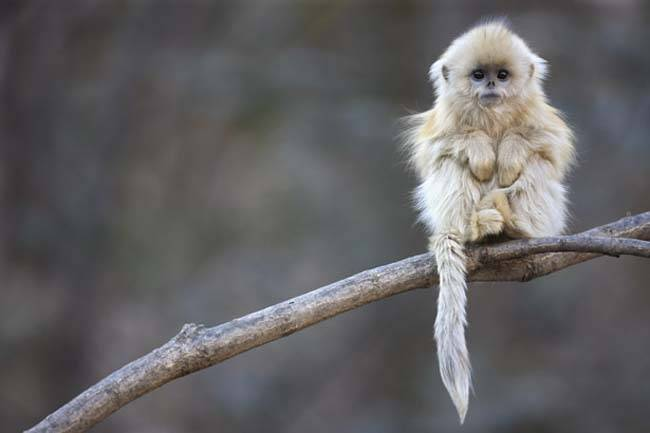 Golden snub-nosed  monkey / Rhinopithecus roxellana