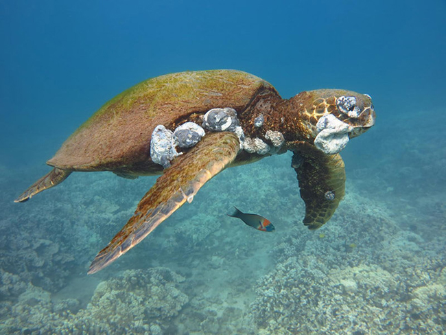 Turtle cancer due to pollution