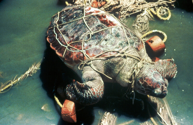 Turtle entangled in a net