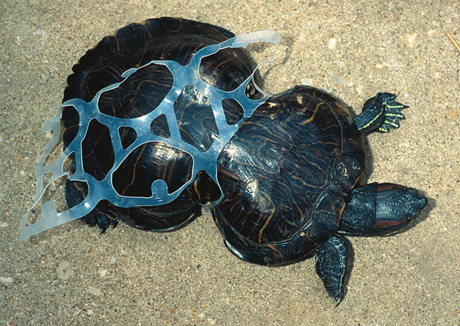 Turtle having grown up trapped in a piece of plastic
