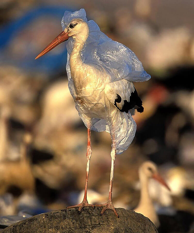 Wading bird trapped in a plastic bag