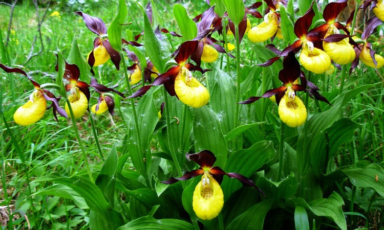 04Yellow-and-Purple-Lady-Slippers_InfoMazza