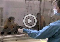 What Happened When Two Monkeys Are Unfairly Rewarded For The Same Task