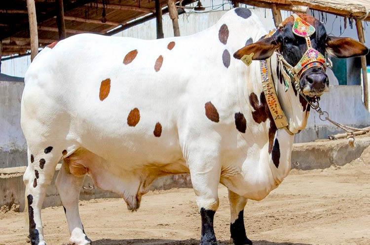 Eid-Ul-Azha-Cow-Buffalo-Bull